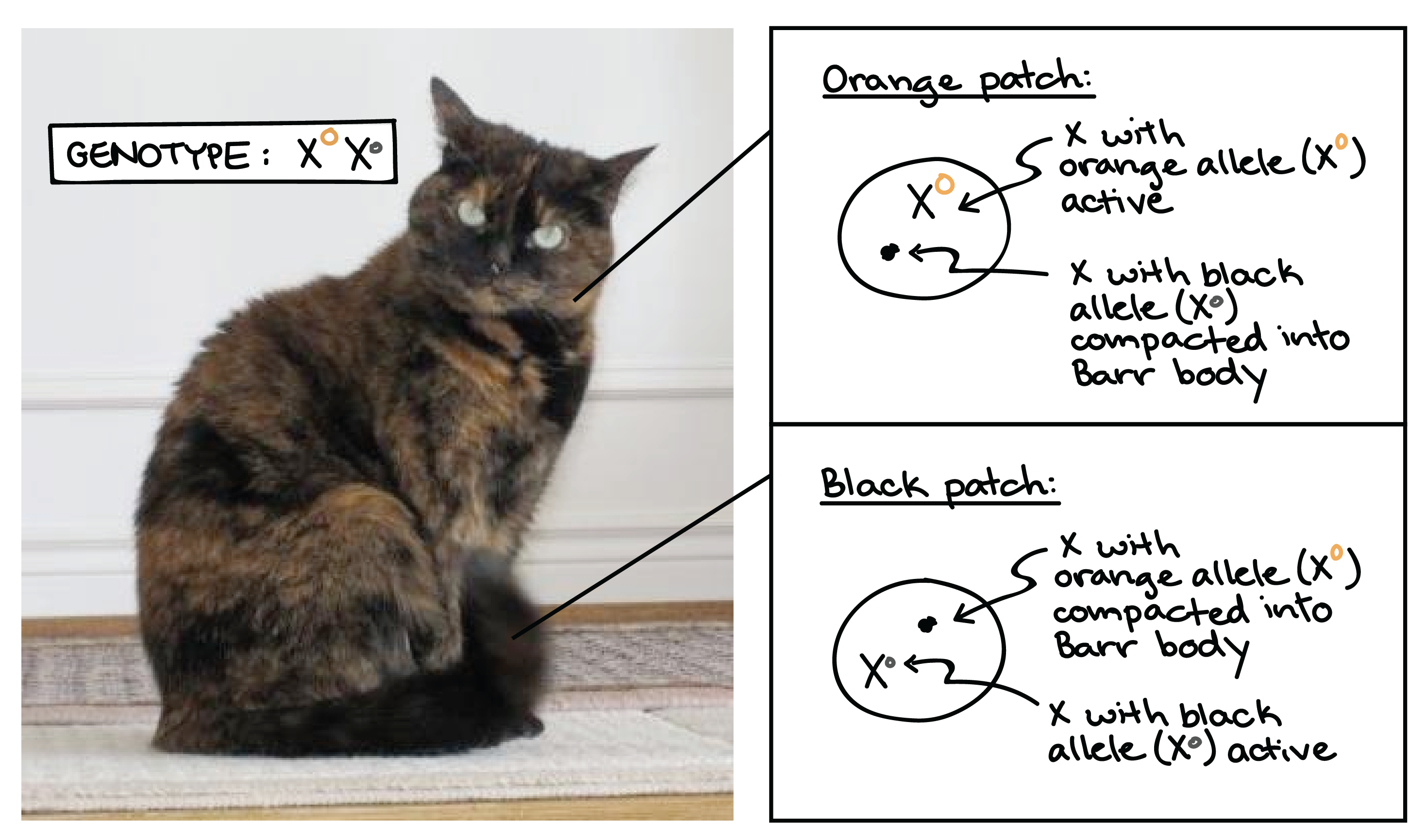 Color of cats fur - Image Of A Tortoiseshell Cat Illustrating The X Inactivation Processes Responsible For The Different Patches Of Color On Its Coat