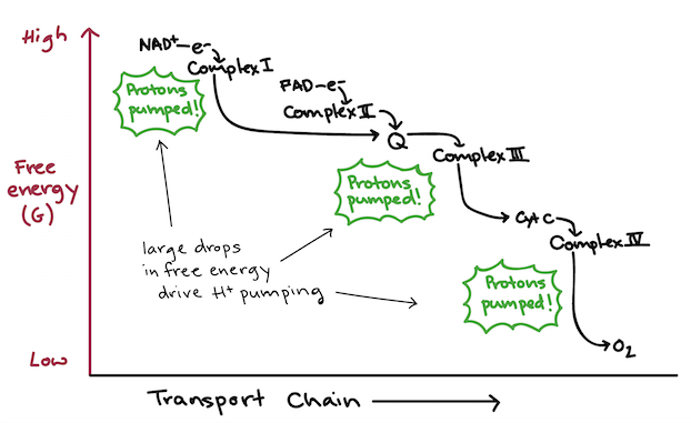 Oxidative phosphorylation biology article khan academy free energy diagram showing the energetically downhill flow of electrons in the electron transport chain ccuart