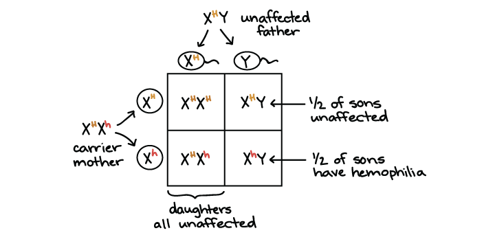 Xlinked inheritance article – Genetics X Linked Genes Worksheet Answers