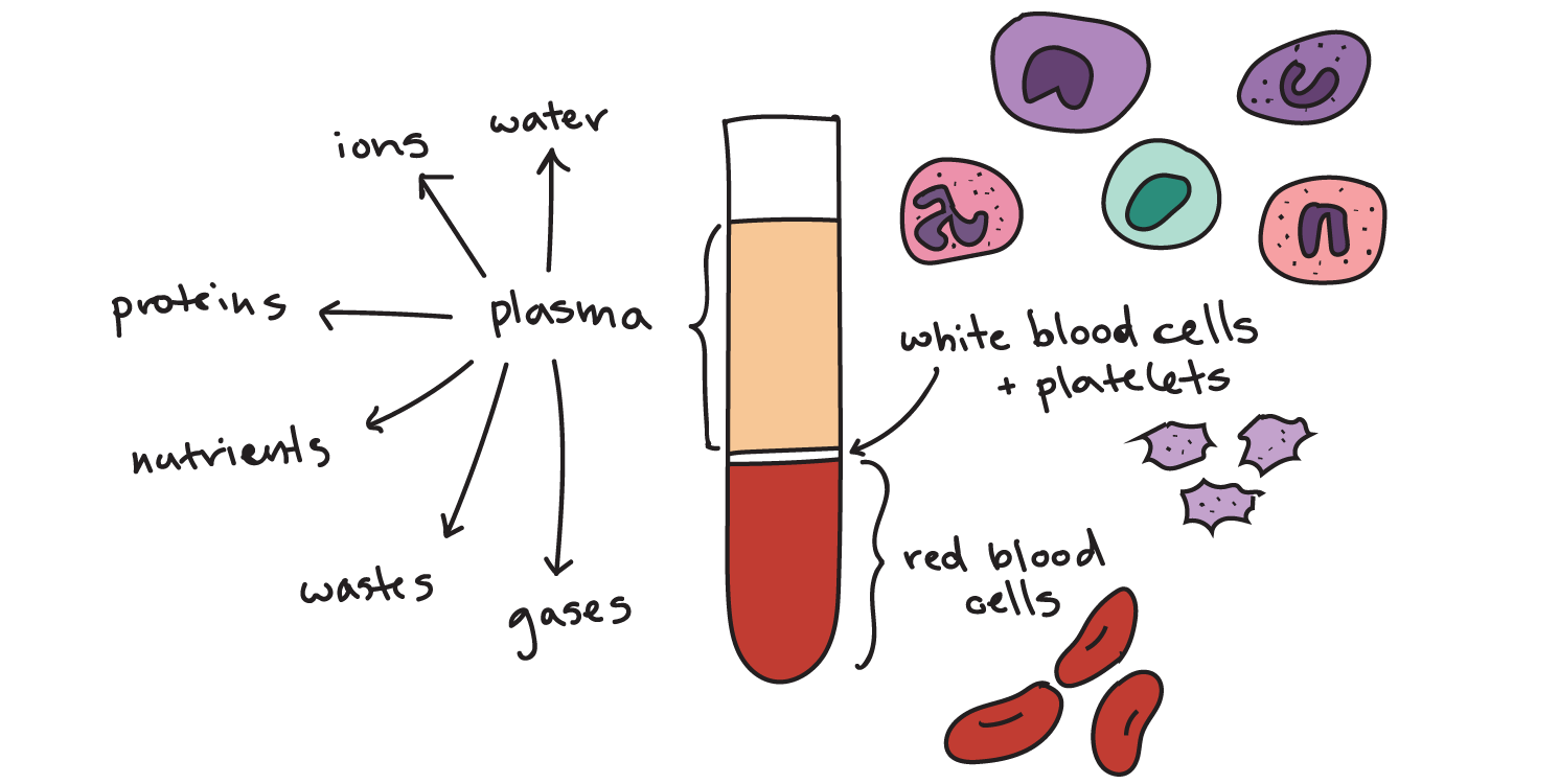 Components of blood (article) | Khan Academy