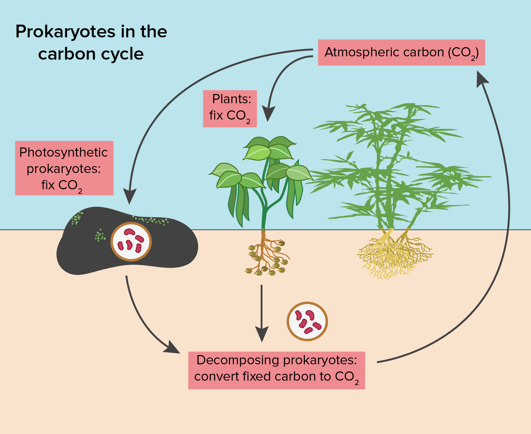 Prokaryote metabolism article khan academy play several roles in the carbon cycle decomposing prokaryotes break down dead organic matter and release carbon dioxide through cellular respiration ccuart Image collections