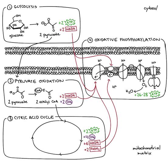 Oxidative Phosphorylation Biology Article Khan Academy